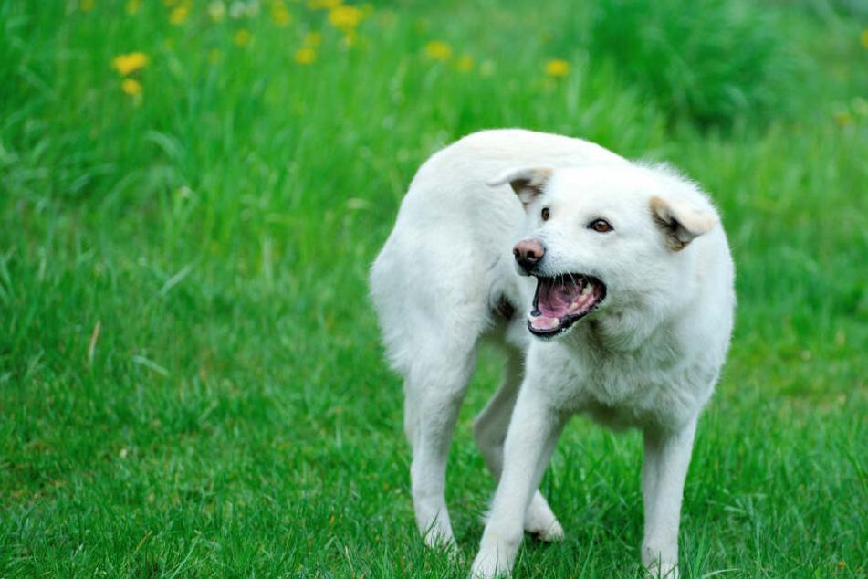 Das Kind ist von einem kleinen weißen Hund gebissen worden. (Symbolbild)