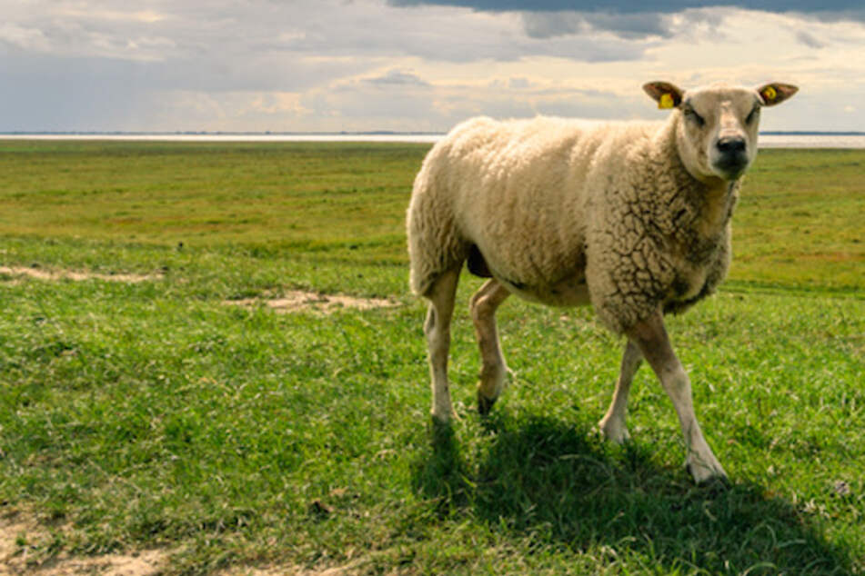 Sturzbetrunken unterwegs: Ausgebüxtes Schaf wird Schäfer zum Verhängnis