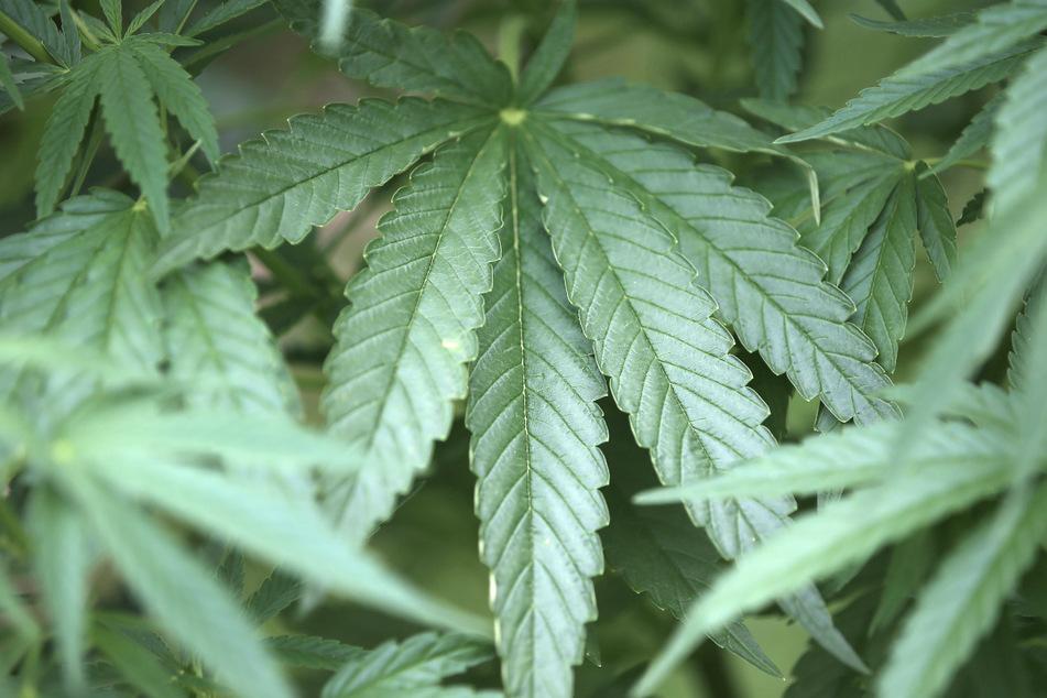 Expertin warnt, Cannabis zu verteufeln und begrüßt neue Grenze