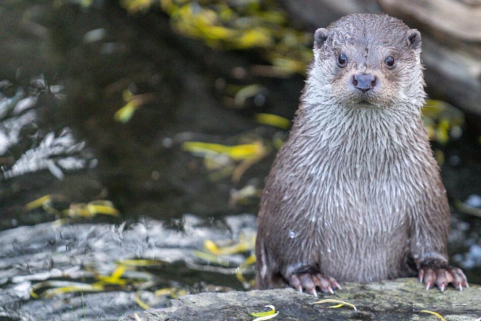 Neuankömmling im Kölner Zoo: Fischotter Dexter lässt sich gern verwöhnen