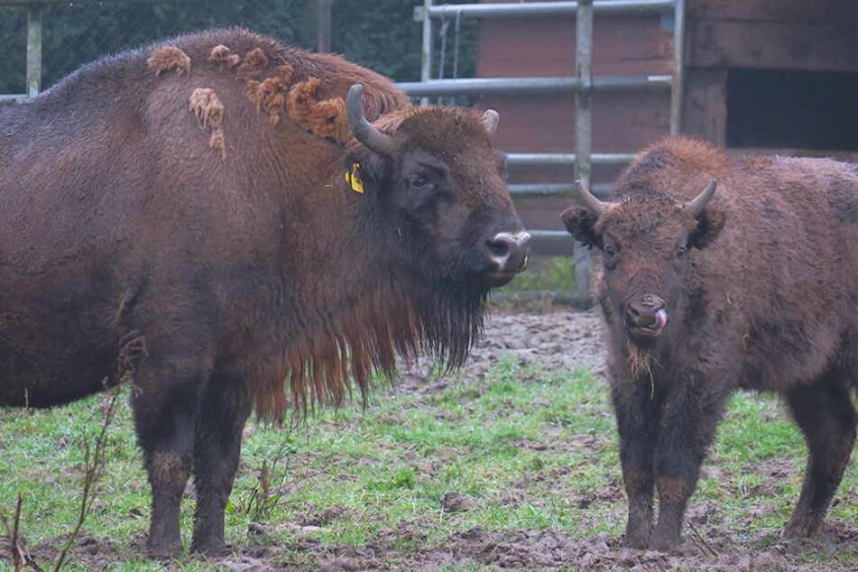 Wisentkuh Holle bekommt im Frühjahr einen neuen Bullen ins Gehege.
