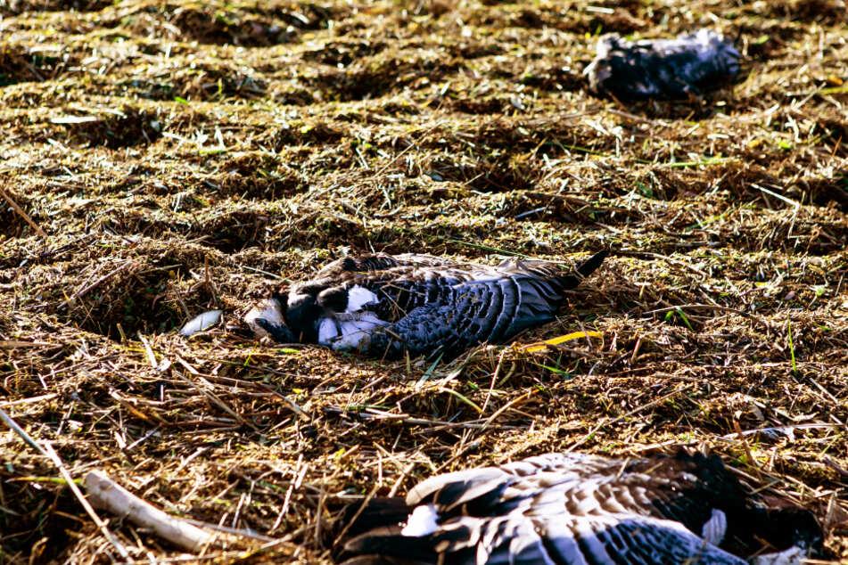 Für viele Vögel endet eine Infektion tödlich. (Symbolbild)