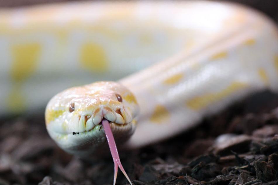 Ein Python biss den Mann in sein bestes Stück. (Symbolbild)