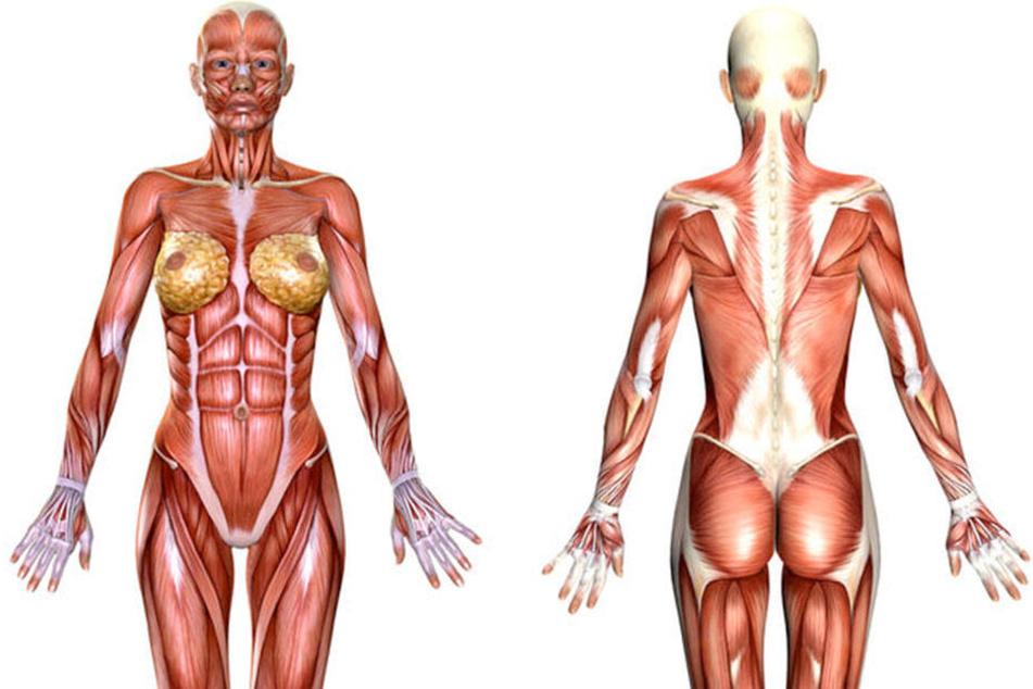 So sieht die übliche Darstellung des weiblichen Muskelsystems aus.