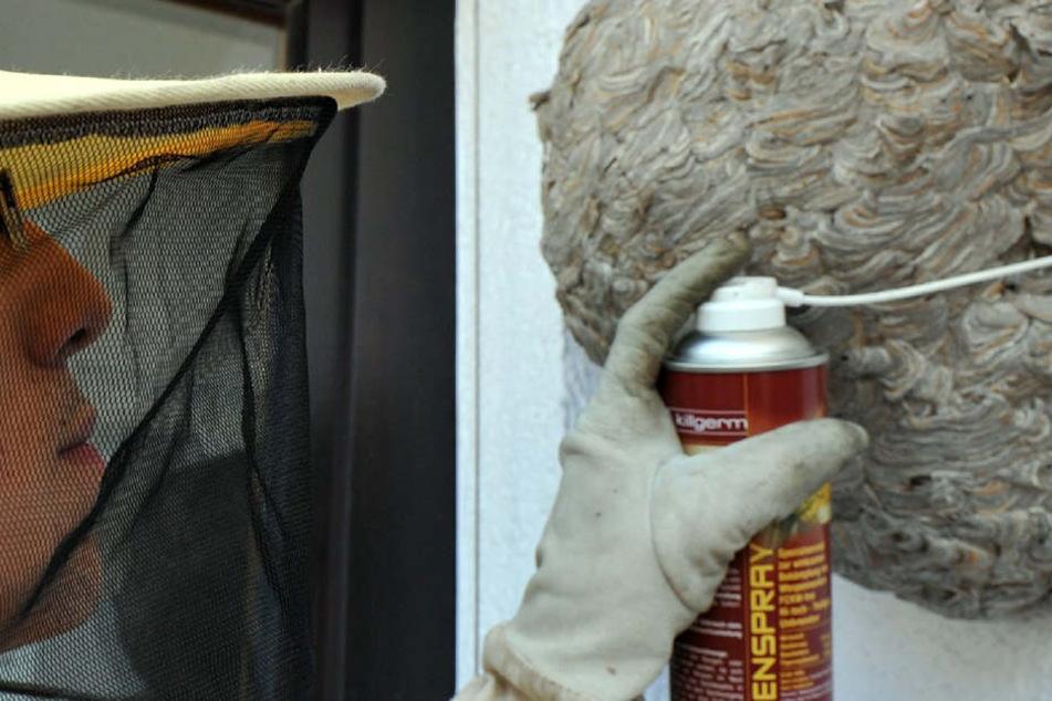 Niemals sollte der Gartenbesitzer ohne Erfahrung selbst versuchen, ein Wespennest zu entfernen oder dieses auszuräuchern. Hier muss ein Fachmann ran!