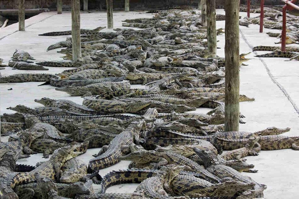 Kroko-Farm: Krokodile seien intelligente Tiere, die in Verbänden zusammenleben, ihre Jungen beschützen und sogar Werkzeuge benutzen können.