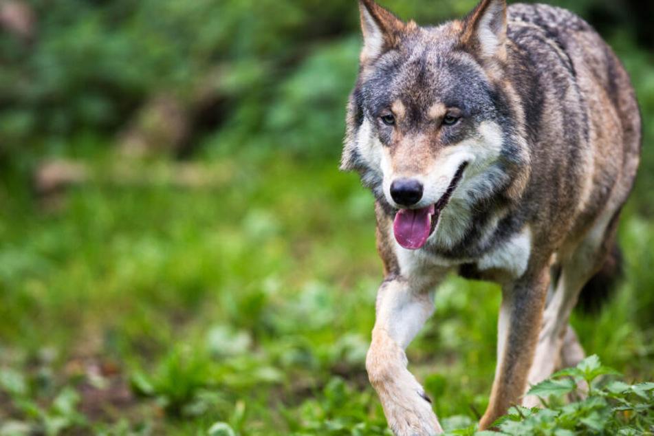 Die Herkunft der toten Wölfin ist noch völlig unklar (Symbolbild).