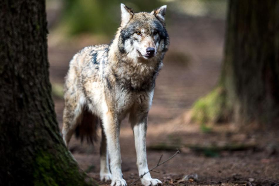 Der Wolf sorgt derzeit für aufgeheizte Stimmung in der Regierungskoalition. (Symbolbild)