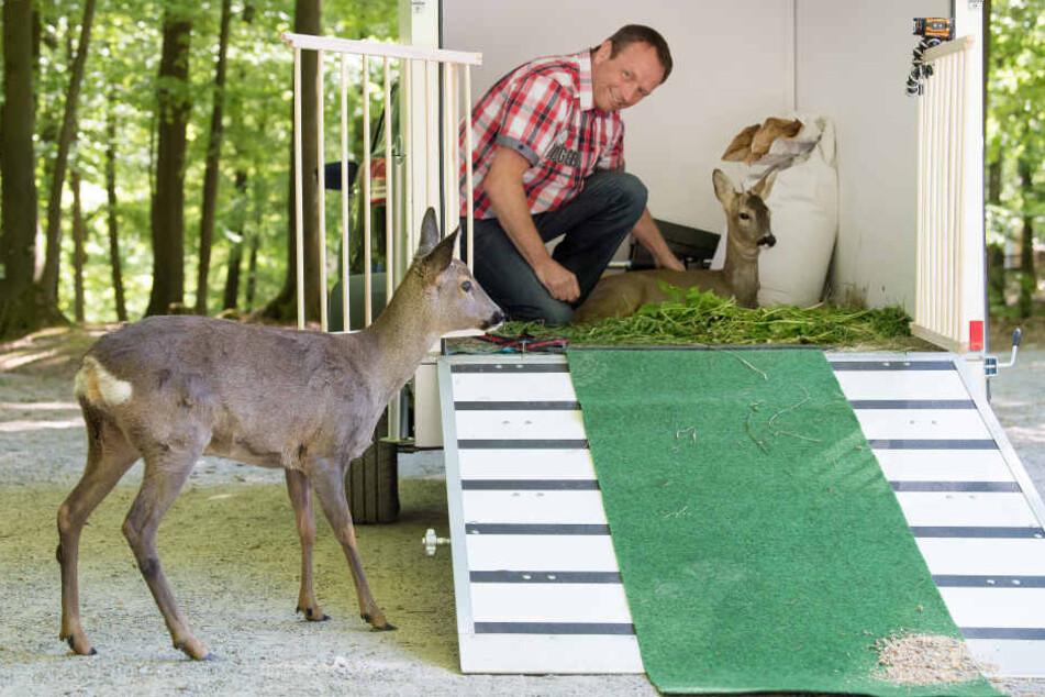 """Erst vor einem halben Jahr zog """"Bambi"""" in den Bergtierpark."""