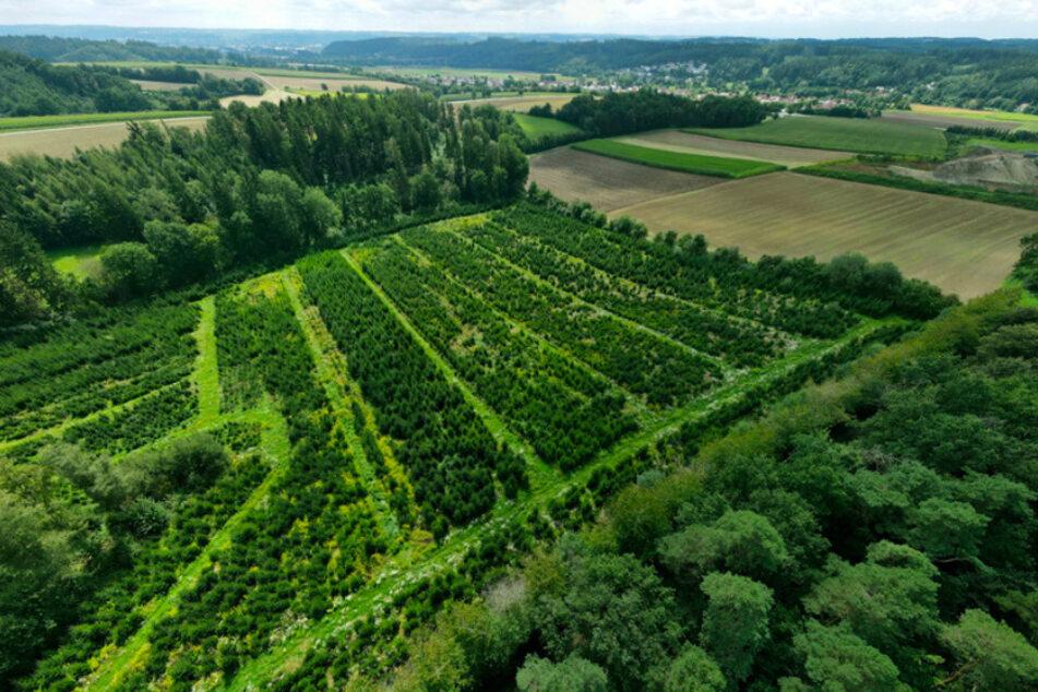 Im bayerischen Ergolding wachsen zukünftige Weihnachtsbäume auf einer Plantage.