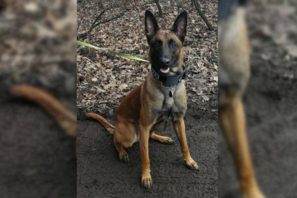 Polizei-Hund Maylo spürte den flüchtigen Tatverdächtigen auf.