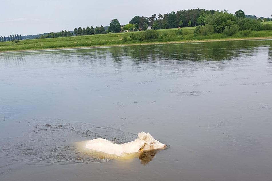 Diese weiße Kuh verirrte sich in der Elbe.