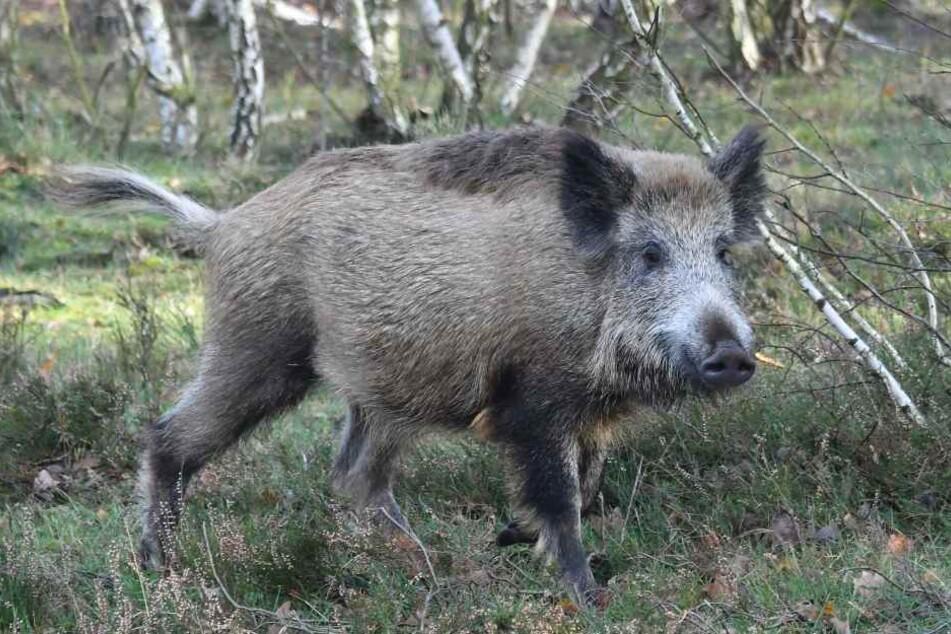 Das Wildschwein ließ sich weder einfangen, noch betäuben. (Symbolbild)
