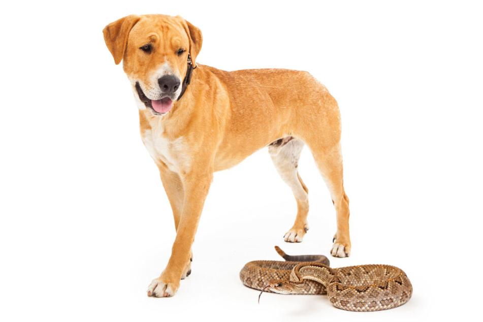 """In einem Twitter-Video kam es zum """"Duell"""" zwischen Hund und Schlange. (Symbolbild)"""