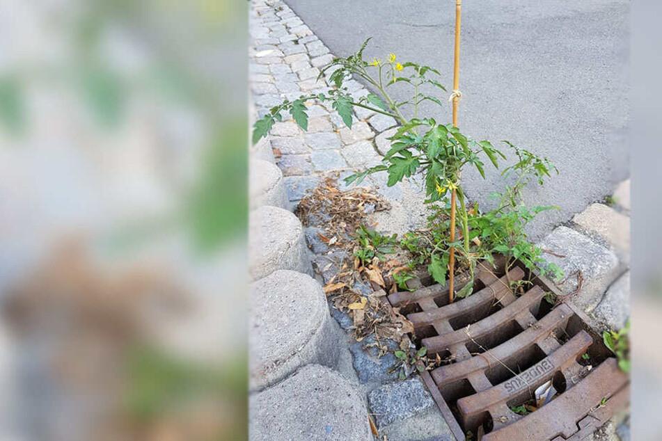 Vor dem Eingang der Tafel in Reichenbach wächst eine Tomatenpflanze aus dem Gully.