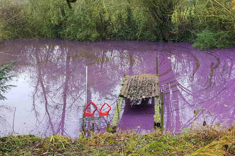 Seit ein paar Tagen leuchtet der Teich bei Bad Segeberg lilafarben.