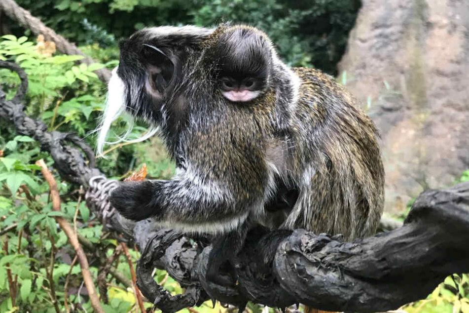 Kaiserschnurrbarttamarin Salik trägt seinen ins Fell gemummelten Nachwuchs über die Affeninsel.