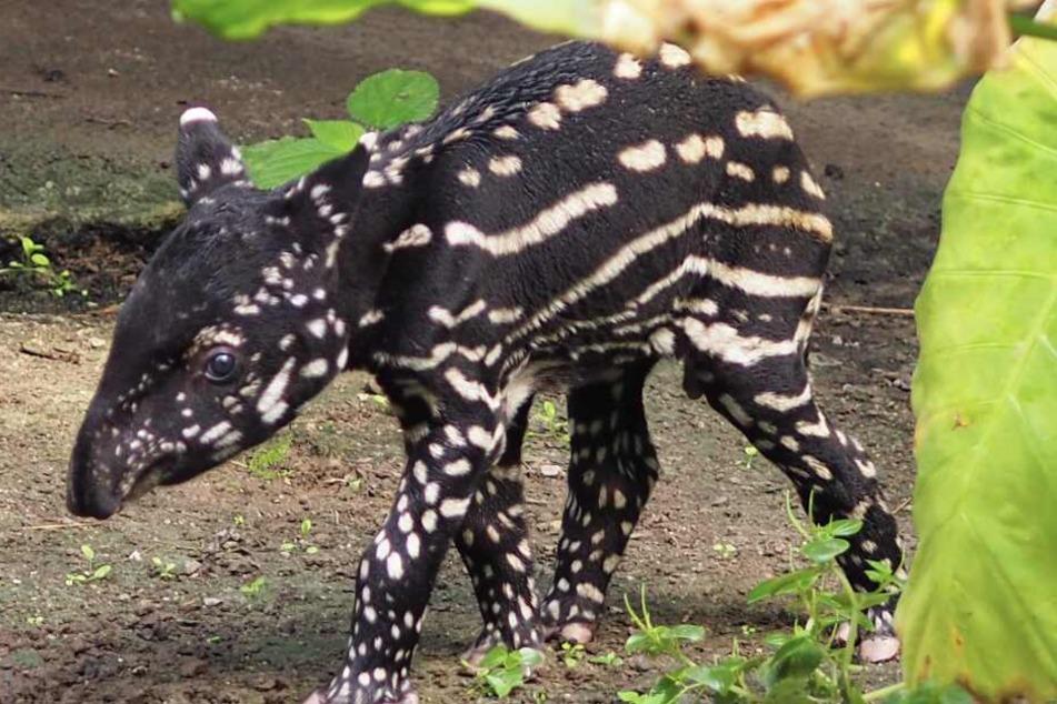 Der kleine Tapir-Bulle hat es leider nicht geschafft.