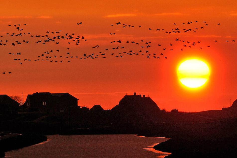 Naturspektakel: Zehntausende Gänse belagern das norddeutsche Wattenmeer