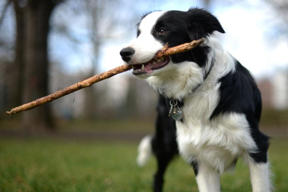 Hunde spielen gerne mit Stöckchen, doch das kann tödlich für sie enden!