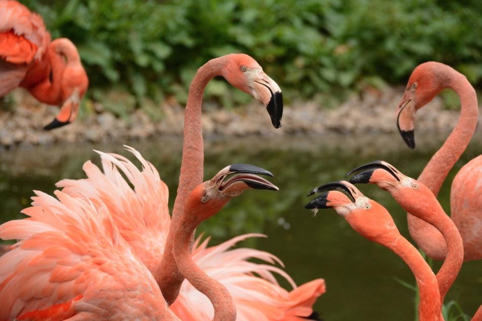 Neue Vogelgrippe-Tests: Bangen um Limbacher Tierpark-Flamingos