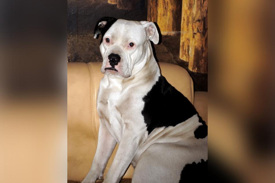 Mit einem solchen schwarz-weißen American Bulldog war der Mann am Dienstagabend in Schönefeld unterwegs. (Symbolbild)