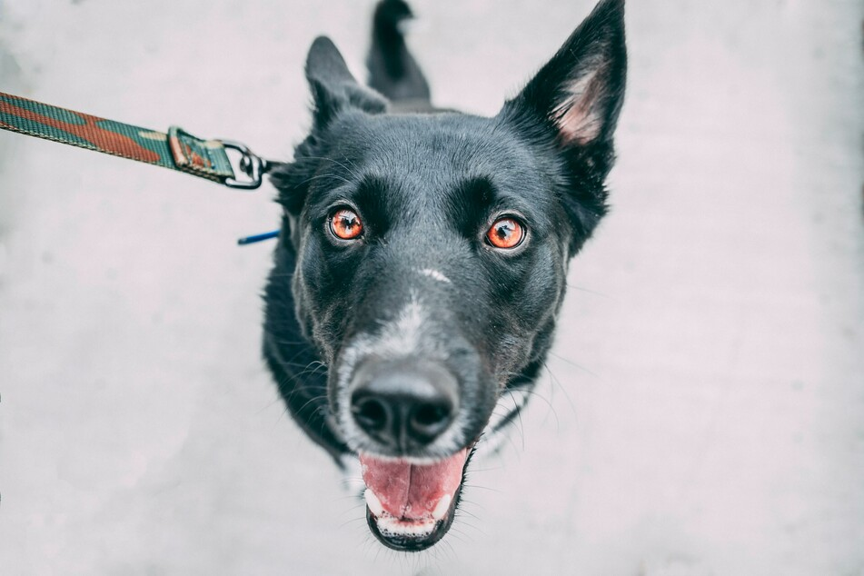 Schwarze Hunde sind nicht grundsätzlich gefährlicher als andere, denn die Fellfarbe steht in keinem Zusammenhang mit dem Charakter des Hundes.