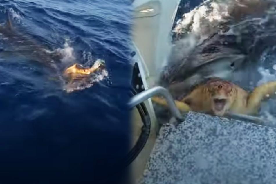 Riesiger Tigerhai will Schildkröte fressen, dann wird es richtig dramatisch