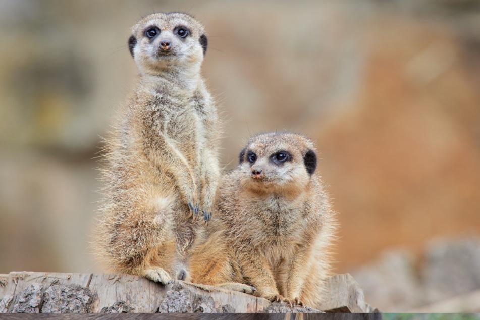 Sind sie nicht süß? Die putzigen Erdmännchen sind beliebte Patentiere in den Zoos und Tierparks des Freistaats.