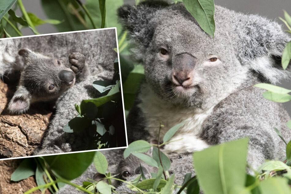 Koala-Baby bei Geburt zwei Zentimeter groß: Jetzt zeigt es sich