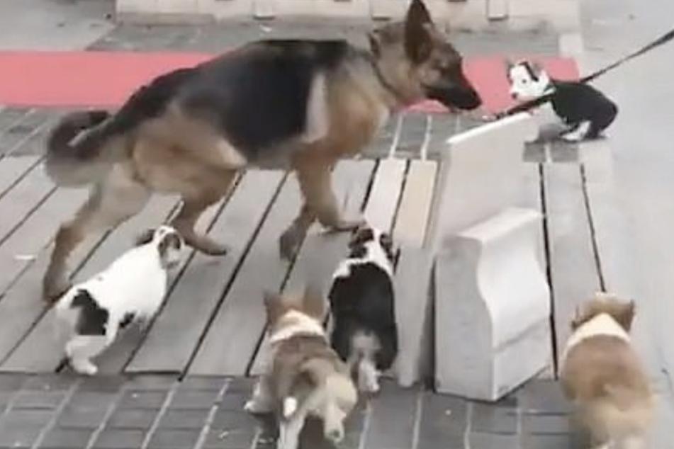 Hund begegnet beim Gassigehen Welpenrudel: Über seine Reaktion lachen alle