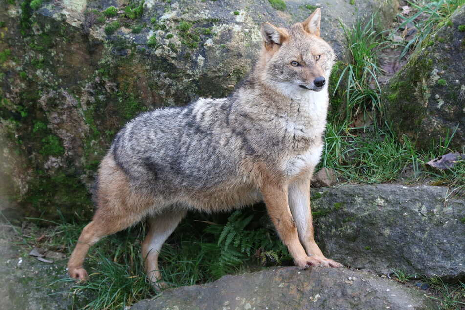 Ein Goldschakal im Gehege des Zoos Rheine. Der Goldschakal ist deutlich kleiner als ein Wolf, aber größer als ein Fuchs.