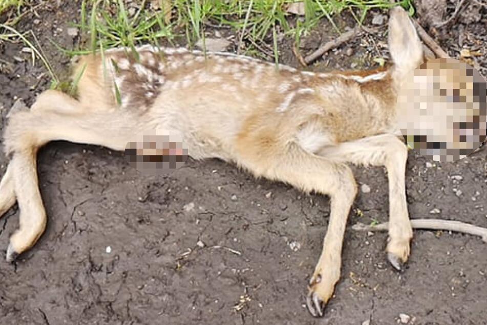 Das Rehkitz wurde vor wenigen Tagen tot im Park aufgefunden.