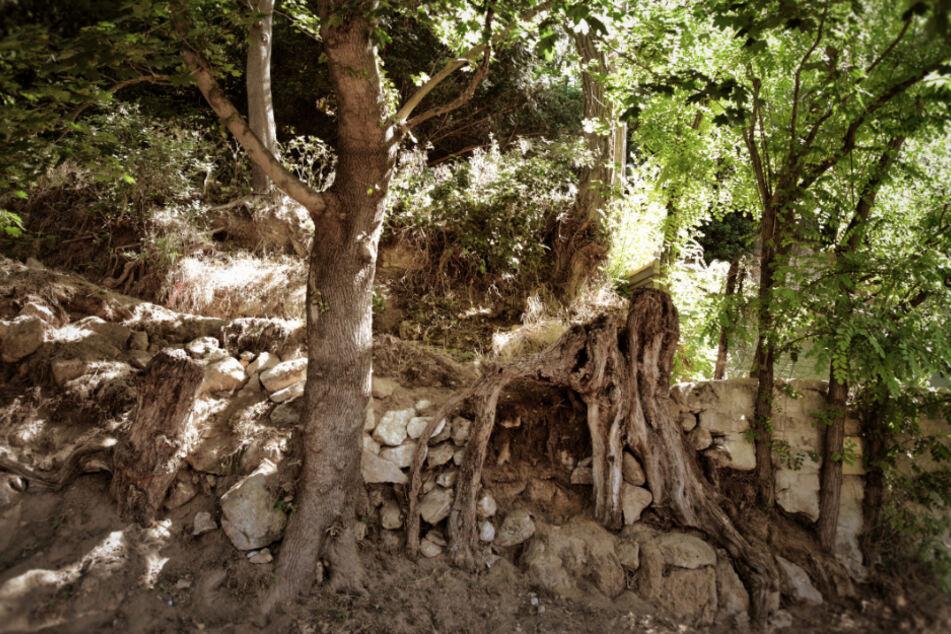 """Ein Hügel mit Bäumen und Wurzeln. Hier soll der der niederländische Maler Vincent van Gogh sein letztes Gemälde """"Baumwurzeln"""" gemalt haben."""