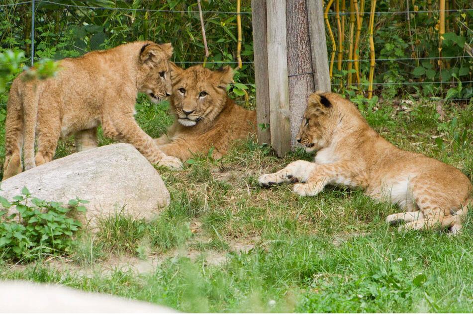 Wie sollen die kleinen Löwen im Zoo Leipzig heißen? Diese zehn Namen stehen zur Auswahl!