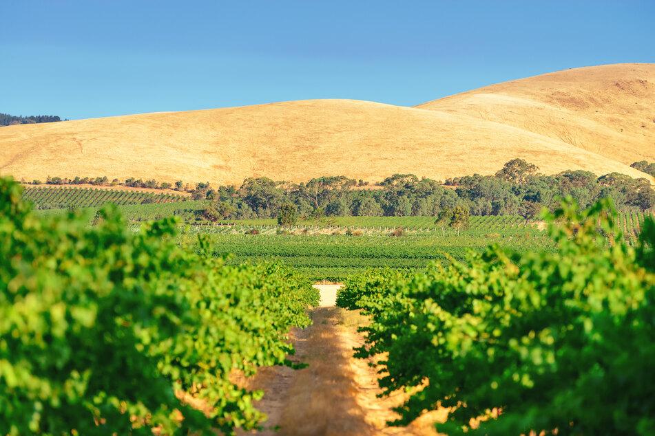 Ein Weinberg in Australiens Barossa Valley.