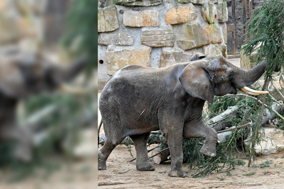 Leckere Fichte: Im Zoo gibt's ein Weihnachtsgedeck für die Elefanten