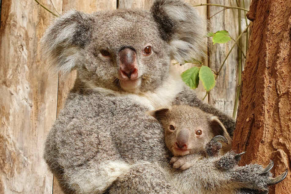 Der Baby-Koala hält sich an seiner Mutter fest. Das noch namenlose Männchen wiegt bereits mehr als 500 Gramm.