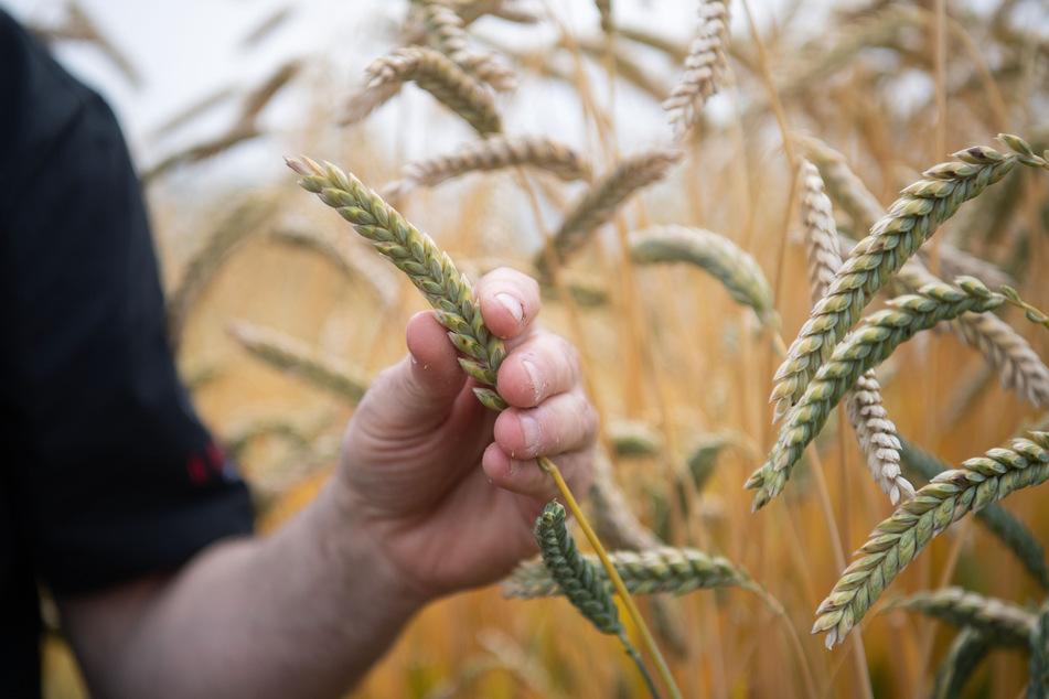 In Oldenburg hat eine Verbrecherbande in 510 Fällen Getreide im Gesamtwert von 1,7 Millionen Euro gestohlen. (Symbolfoto)