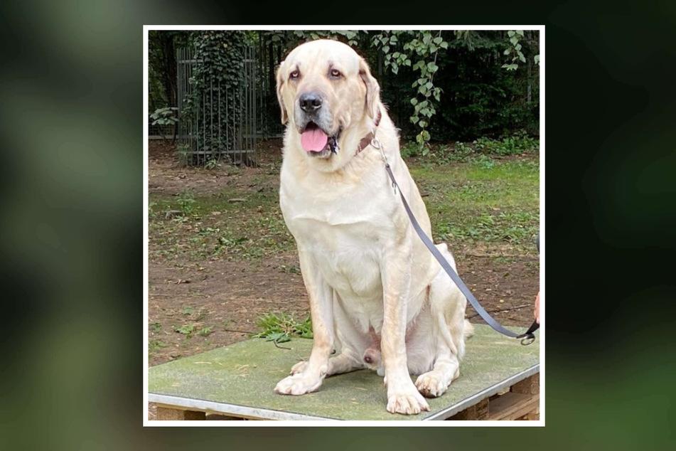 """Mit seinen knapp 80 Kilo ist Hund """"Torros"""" ein richtiges Schwergewicht unter den Hunden."""