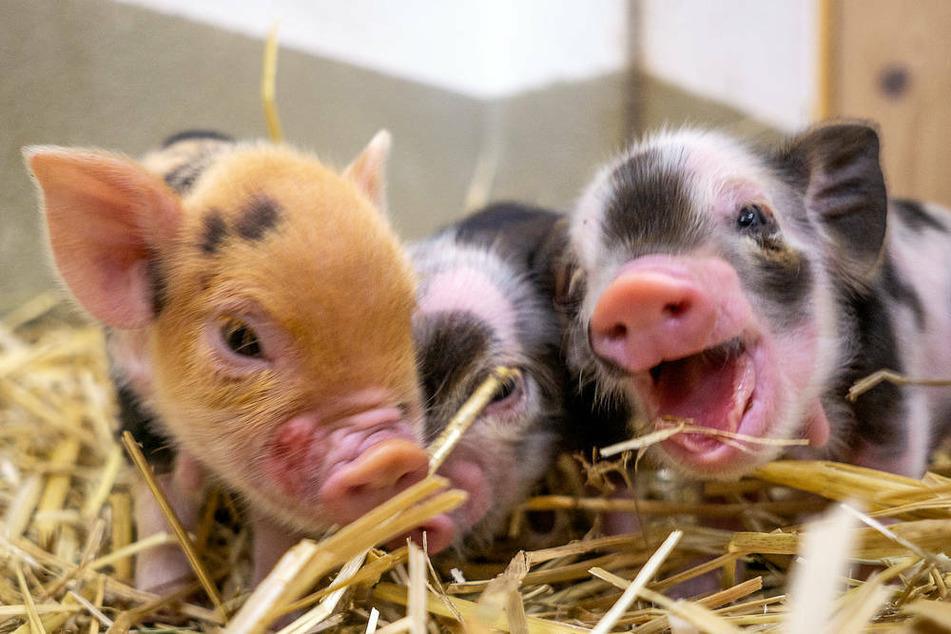 Nachwuchs im Tierpark Hellabrunn: 13 unheimliche süße Kunekune-Schweinchen sorgen im Schweinestall des Mühlendorfs für Schwung.