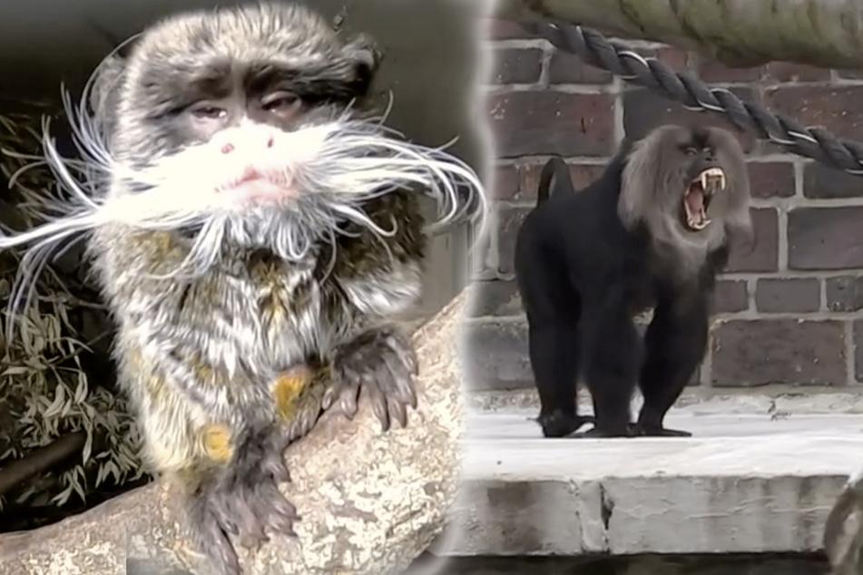 So ein Theater! Affen-Männchen im Leipziger Zoo brauchen Nachhilfe im Flirten