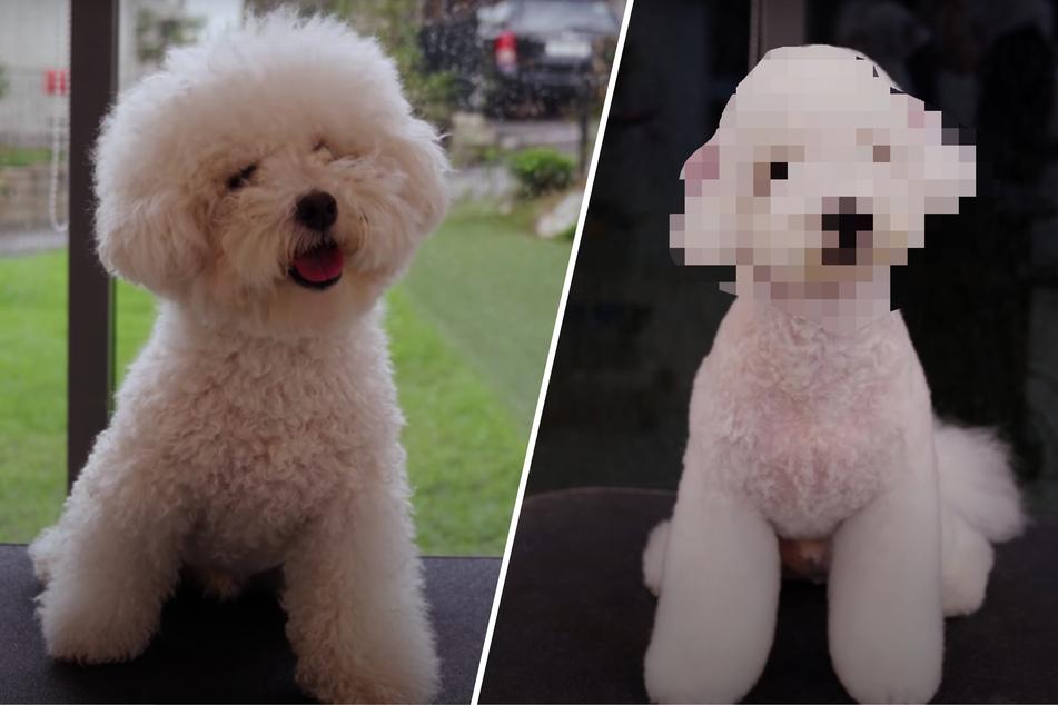 Dieser Hund ist nach seinem Friseurtermin kaum wiederzuerkennen!