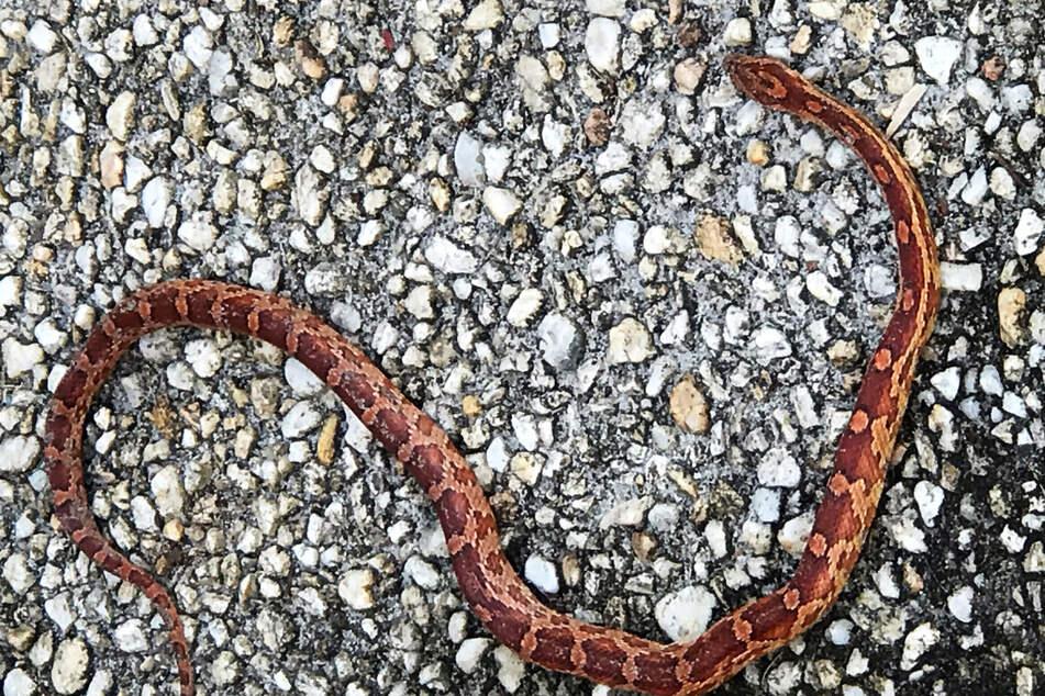 Schreck am Morgen! Mann entdeckt Schlange vor seiner Haustür