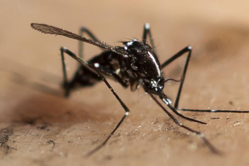 Gefährliche Tigermücke breitet sich immer weiter aus