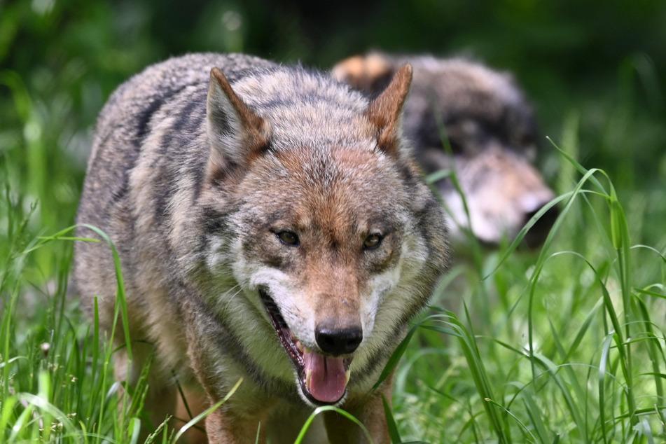 Wölfe laufen durch ein Gehege im Wildpark Eekholt.
