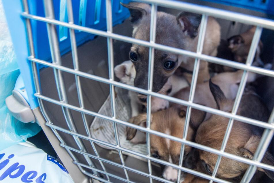 Illegaler Hundehandel aufgeflogen: Welpen in bedenklichem Zustand