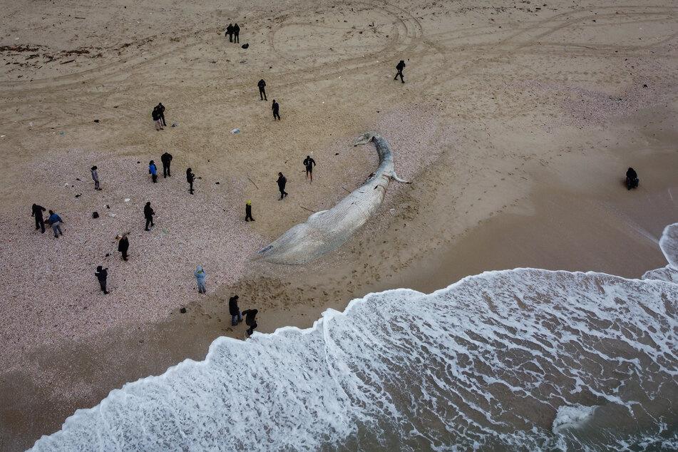 Eine Luftaufnahme zeigt das tote Finnwal-Kalb, das an einem Strand südlich von Tel Aviv angespült wurde. Laut israelischer Beamten ist die Todesursache unklar.