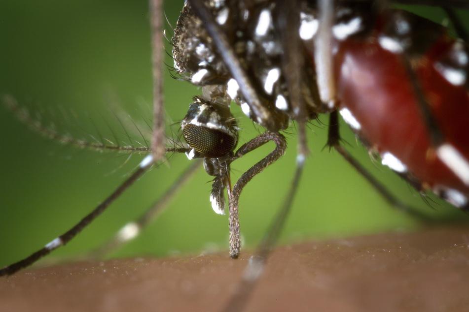 Die Mücke gilt als Übertrager etwa des Dengue-Virus.