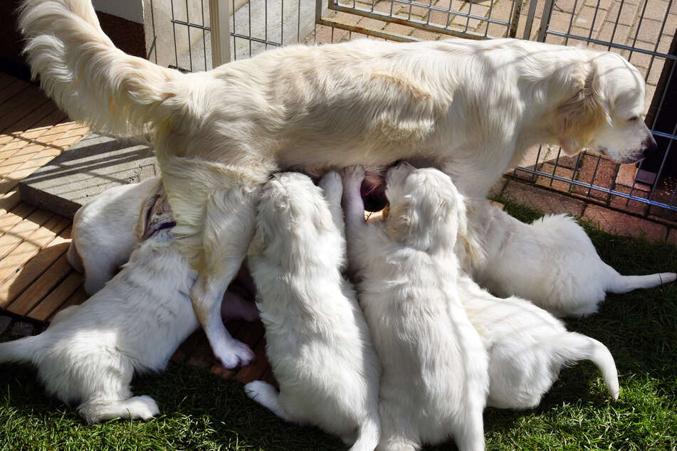 Viele geschmuggelte Welpen werden viel zu früh von ihrer Mutter getrennt - bis sie 15 Wochen alt sind, kann das gefährlich und schlecht für deren Entwicklung sein.